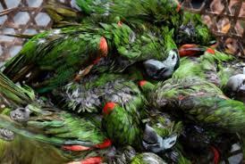 47 aves exóticas venezolanas fueron lanzadas al Mar Caribe por cazadores furtivos