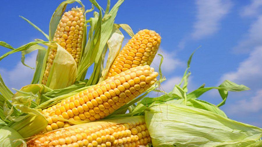 Agroindustria y productores exploran volver sembrar 400 mil hectáreas de maíz blanco en el país