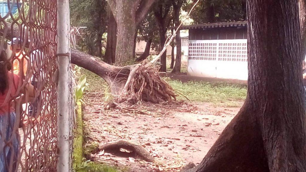Una familia es afectada debido al desplome de un árbol  en San Juan de Morros