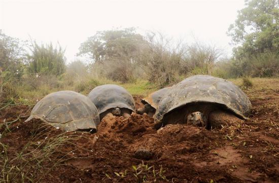 Ecuador censará la población de tortugas gigantes de Galápagos