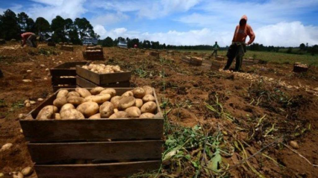 Productores de papas piden combustible e insumos
