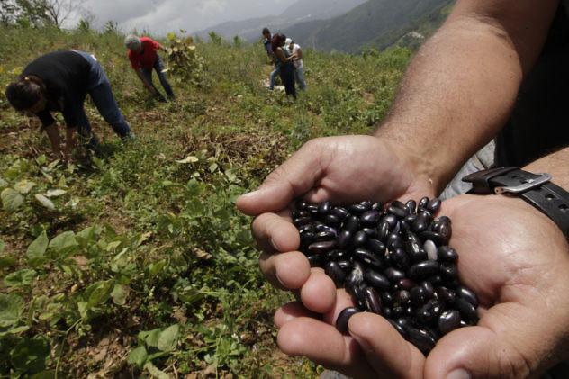 Fedeagro estima más de 13.000 hectáreas de leguminosa pérdidas por escasez de diésel