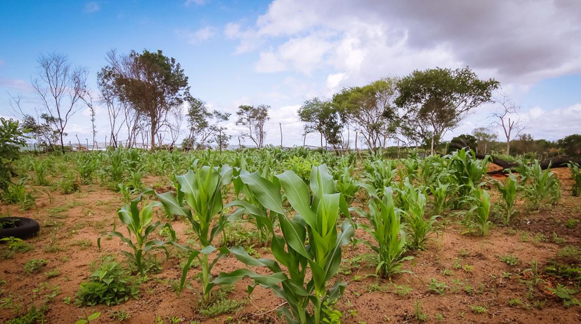 Siembra de arroz y maíz no alcanzó las proyecciones del ciclo por falta de combustible