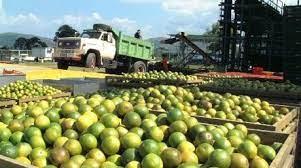 Fedeagro: En 95% disminuyó la producción de cítricos en Venezuela por la contaminación del dragón amarillo
